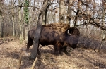 Bison 1997